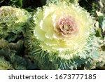 Brassica Oleracea Var. Acephal...
