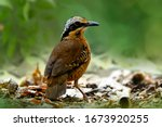 Male Of Eared Pitta Standing...