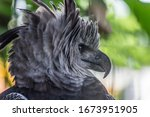 Portrait Of Harpy Eagle  Harpi...