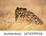 Scared Eurasian Eagle Owl  Bubo ...