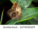 Large Owl Butterfly Sitting On...