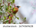 American Robin On Cloudy Day In ...