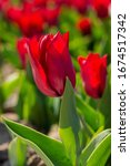 Red Tulips Close Up In The...