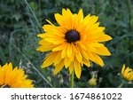 Flower of rudbeckia fulgida ...