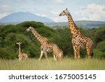 Beautiful Giraffe Family In The ...