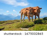 Two Brown Milker Cows At The...