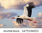 Beautiful white stork (Ciconia ciconia) in flight with a cloudy sky background. Portrait of a flying bird with vibrant colours.   - stock photo