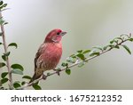 Male House Finch Perched On...