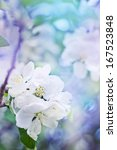 Apple Blossoms Over Blurred...