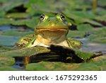 A Big Edible Frog  Rana...