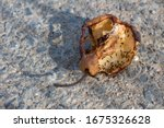 Ants Climb On A Stub Of A Pear