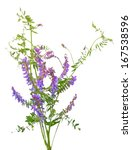 Stock photo vicia cracca flowers isolated on white background 167538596