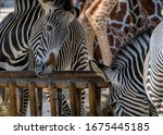 Zebras And Giraffe Near A Fenc...