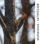 Red Bellied Woodpecker  Adult...