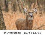A White Tailed Deer  Odocoileu...