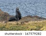 Male Sea Lion Seal While...