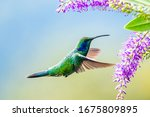 Small photo of Blue hummingbird Violet Sabrewing flying next to beautiful red flower. Tinny bird fly in jungle. Wildlife in tropic Costa Rica. Two bird sucking nectar from bloom in the forest. Bird behaviour