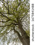 Quercus Petraea. Sessile Oak...