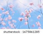 Blue Sky   Cherry Blossom Japan