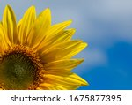 Close Up Of A Sunflower With...