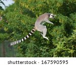 Jumping Ring Tailed Lemur In...