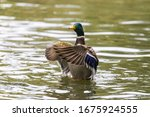 A Male Duck On A Pond Waving...