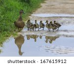 Duck And Ducklings On A Path ...