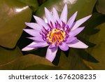 close ups violet purple lotus... | Shutterstock . vector #1676208235