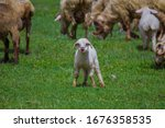 A Flock Of White Sheep With...