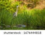 Attentive Grey Heron  Ardea...