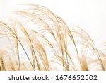 Brown Golden Tall Grass Grains...