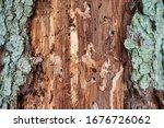 Bark Beetles Cut Down The Tree...