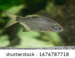 The Common Bream  Freshwater  ...