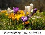 Spring crocus  giant dutch...