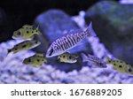Small photo of Zebra Shell-dweller swimming in freshwater aquarium. Neolamprologus similis is Tanganyika Shell Dweller cichlids.