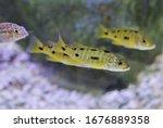Small photo of golden Ocellatus shell-dweller swimming in freshwater aquarium. Lamprologus ocellatus is Tanganyika Shell Dweller cichlids.
