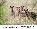 Group of hyenas eating prey in...