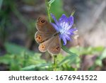 Butterfly Meadow Brown...