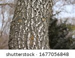 Ridges Furrows Lichen Ash Tree...