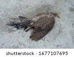 Dead Bird On Pavement Dead...