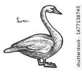 sketch of white mute swan ... | Shutterstock .eps vector #1677138745