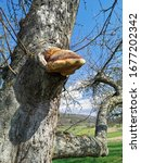 Tree Fungus Grows From A...