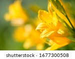 Yellow And Orange Day Lily...