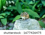 The Eastern Chipmunk. Is A...