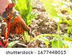 Woman Is Planting Vegetables I...