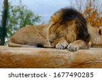 Male Asian Lion  Panthera Leo...