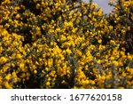 The Yellow Flowering Gorse On...
