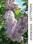 Lilac Blossom In Tbilisi...