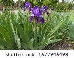 Deep Purple Flowers Of Bearded...