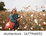 Indian Woman Harvesting Cotton...